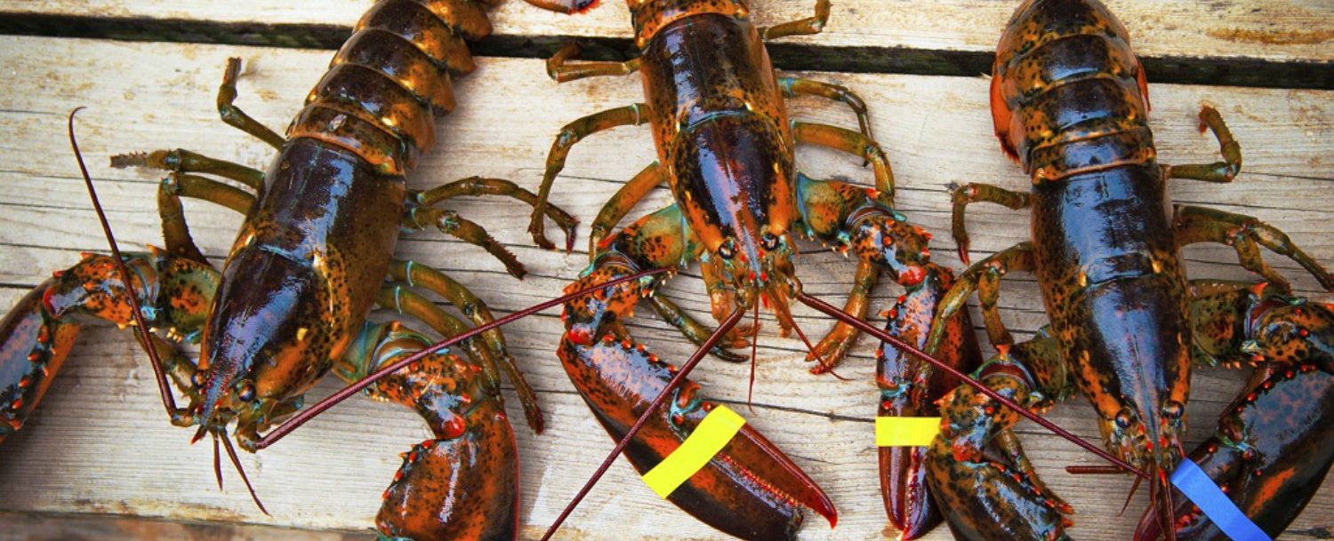 Fresh Maine Lobster