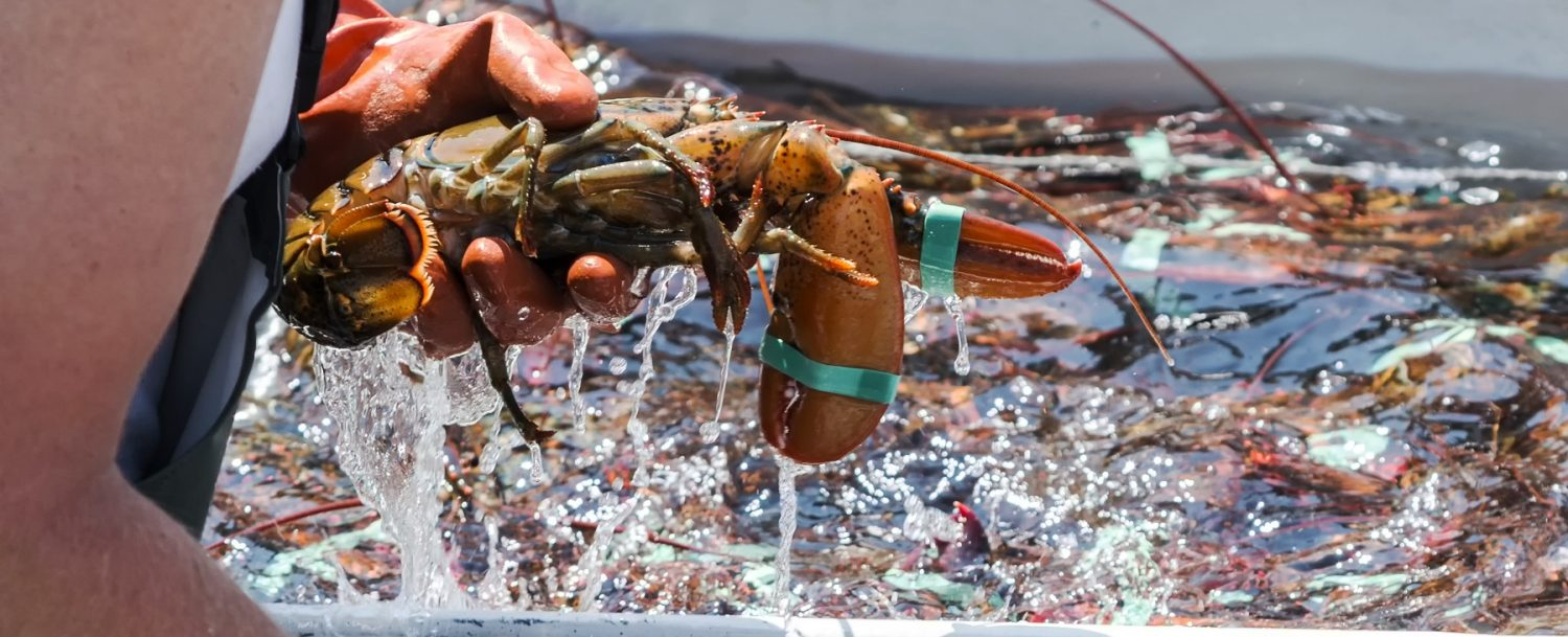 Someone holding a lobster during a lobster fishing trip in Maine