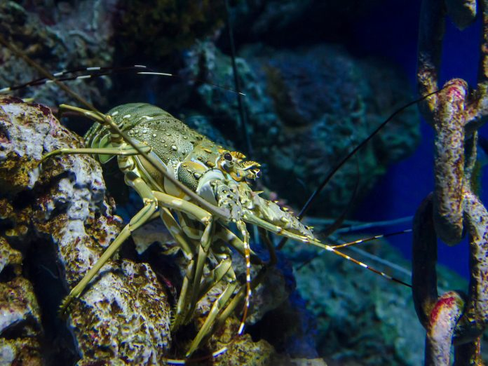 Lobster in the a tank at the Maine State Aquarium