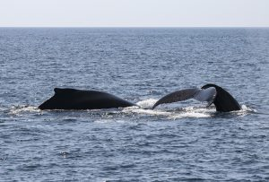 Whales in Boothbay Harbor