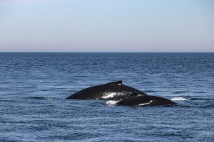 Two whales swimming together on a Boothbay Harbor, Maine, whale watching tour