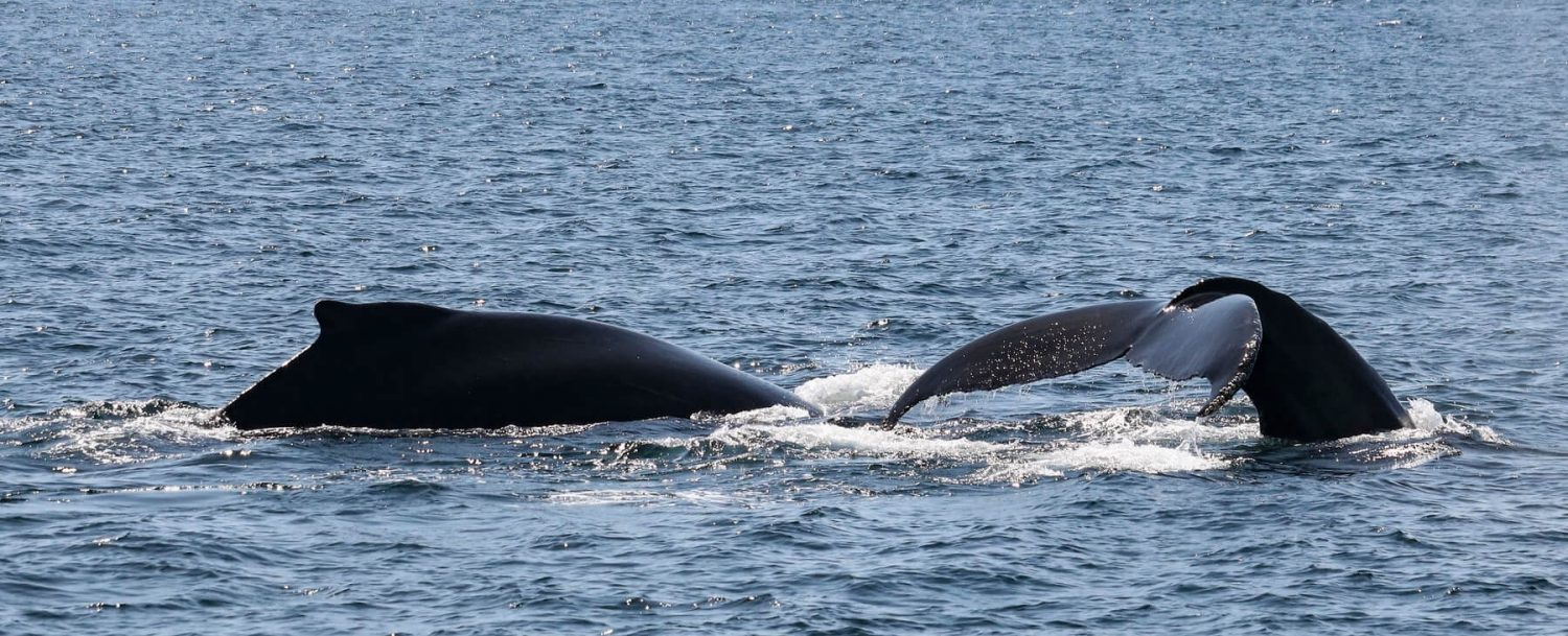 Two whales breaching the surface of the water on a Boothbay Harbor, Maine, whale watching trip