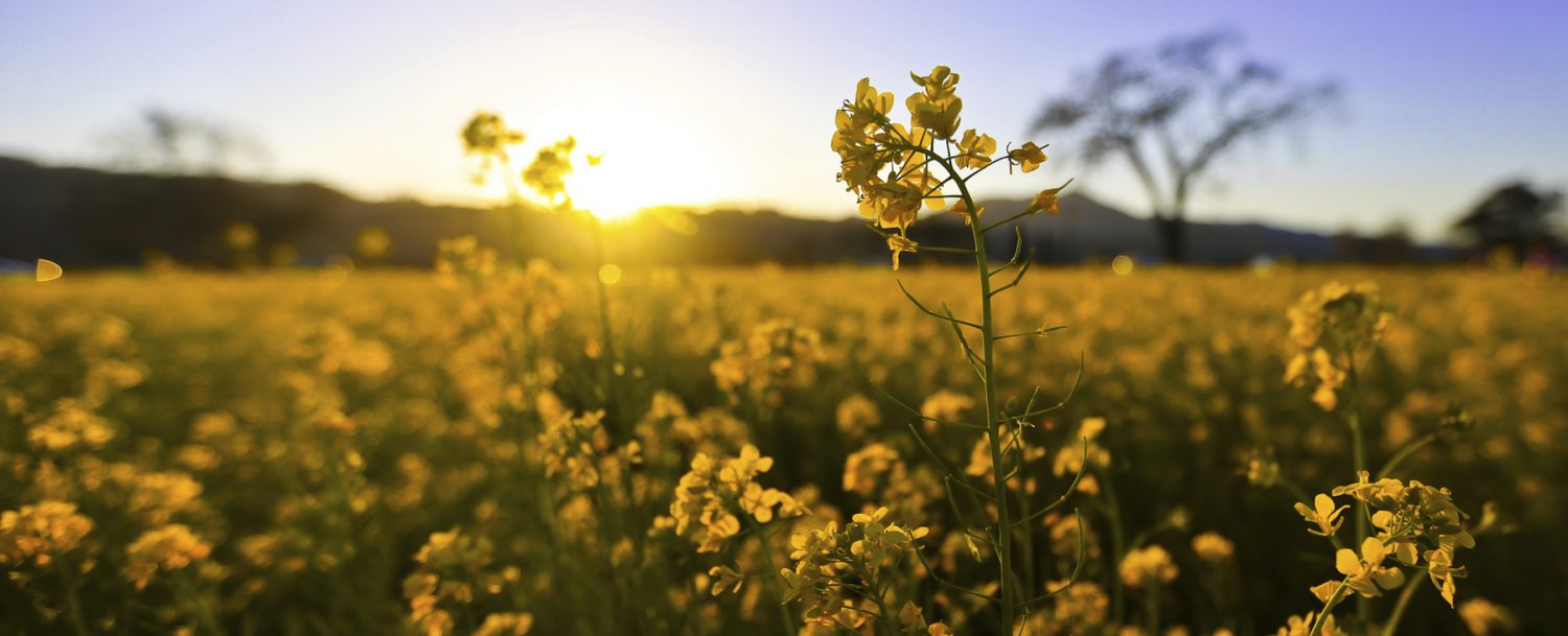 Yellow flowers in field during spring.